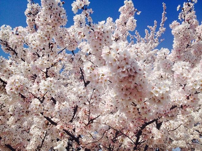 今年も桜の季節がやってきました!